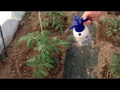 64.Фитофтора на помидорах. Как избежать.