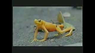 The almost extinct Golden Frog