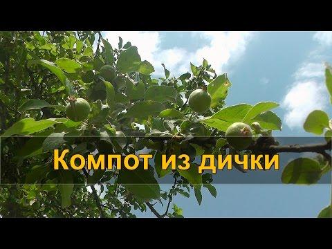 ЛЕСНОЙ КОМПОТ из диких яблок (дички)