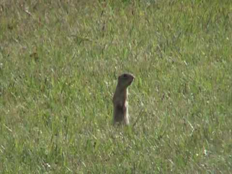 Thirteen-lined Ground Squirrel (Sciuridae: Spermophilus tridecemlineatus) Alarm Call Video