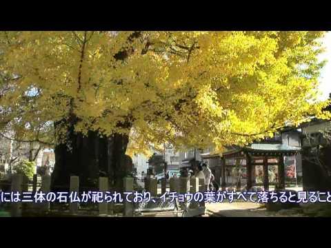 高山市 「飛騨国分寺」 ~大イチョウ~