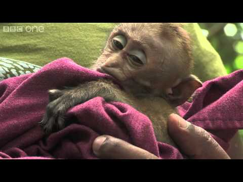 Baby macaque caught in the crossfire (part 2) - Planet Earth Live - BBC One