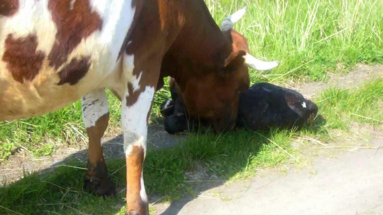 Почему у коровы перед отелом кровь в вымени