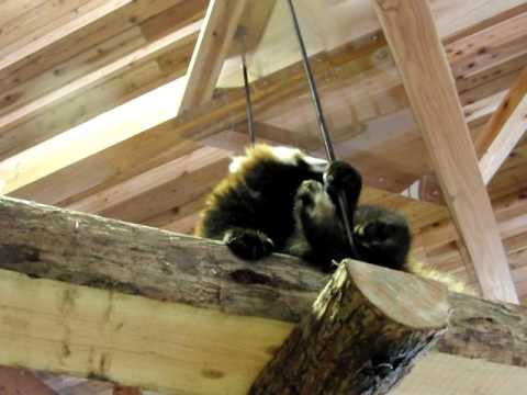 上からレッサーパンダ!(落っこちてきそうで落っこちないノン)