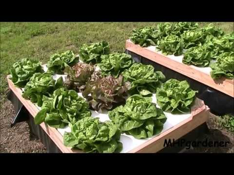 Growing Hydroponic Lettuce Outside With No Electricity