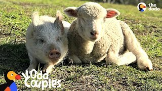 Blind Lamb Follows His Pig Best Friend Everywhere | The Dodo Odd Couples