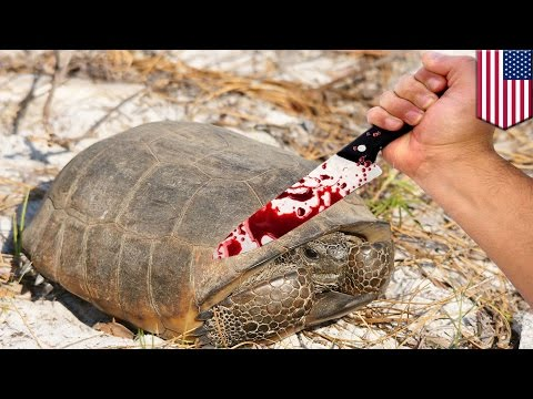 Eating rare animals: Florida man kills, eats 15 endangered gopher tortoises, planned on killing more