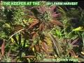 Marijuana Harvest In California 2011