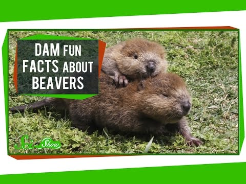 Dam Fun Facts About Beavers