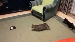 Szczur na koty