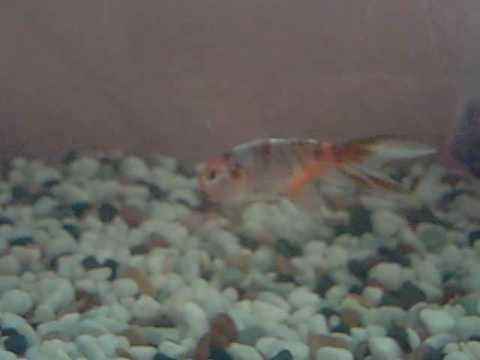Mis 10 peces de agua fria youtube for Criaderos de peces de agua fria