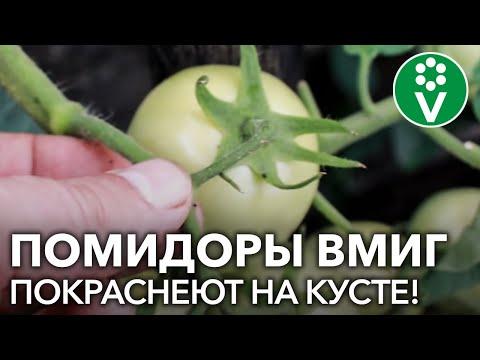 Ускорение созревания томатов – интересный способ