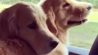 Golden Retriever duo preciously window watches together