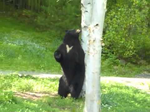 bear scent marking