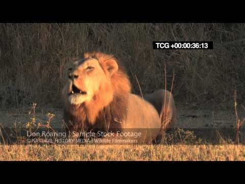 Lion Roaring Hd (wild, Deep And Loud) video