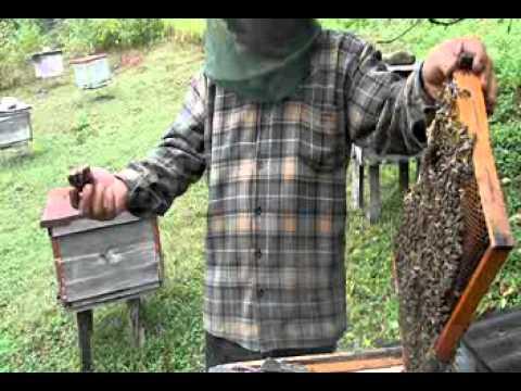 vaja qadjaia with bees