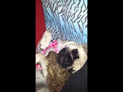 Daisy the Pug
