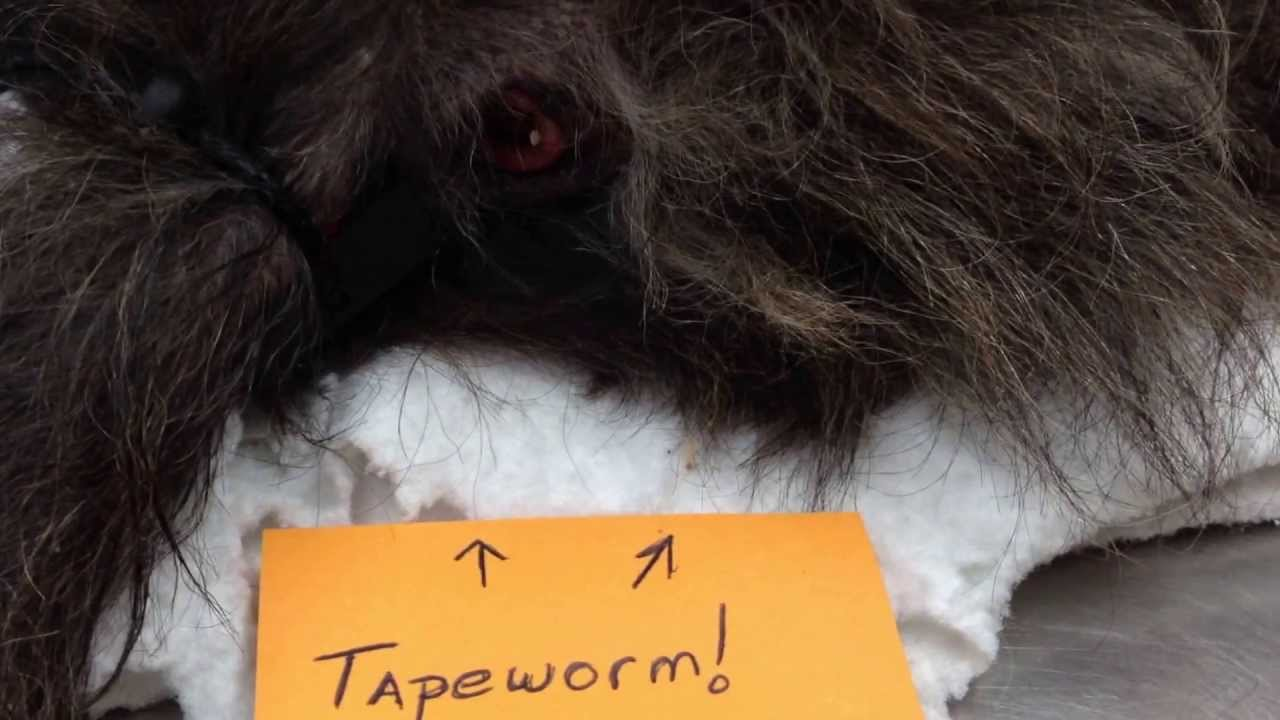 Tapeworm Coming Out Of Dog S Anus