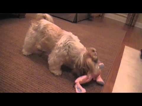 0 Shih tzu Dog Sophies New Friend  Fed Ex Home Delivery