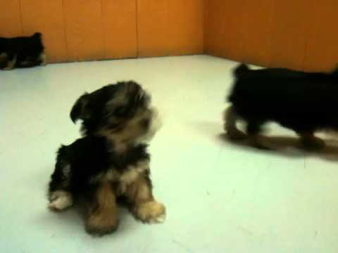 Morkie yorkie dog  maltese puppies puppy puppie teacup playing for sale 19breeders in Ga Georgia