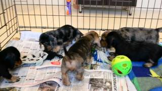"Miniature wire dachshund puppies ""Iz Novo-Peredelkino"""