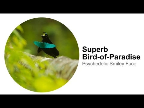 Superb Bird-of-paradise: Psychedelic Smiley Face video