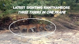 Latest Ranthambore Tiger Sighting : Three Tigers
