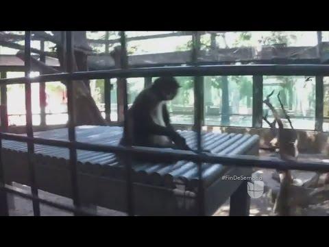 VIDEO: UN MONO SE CONVIERTE EN PISTA CLAVE EN LA CACERÍA DE EL CHAPO