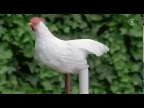 Курица делает длинное яйцо