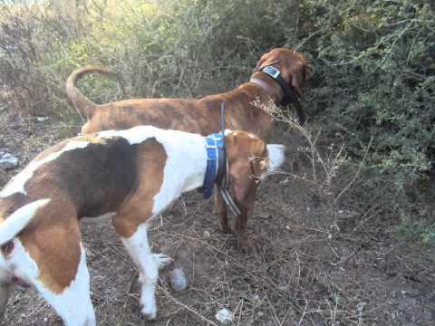 CACERIA DE TEJON - HUNTING COON DOG.wmv