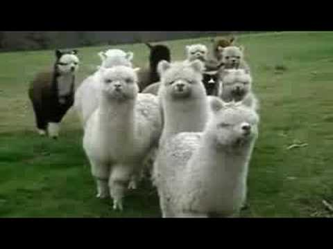 Star Wars Alpacas