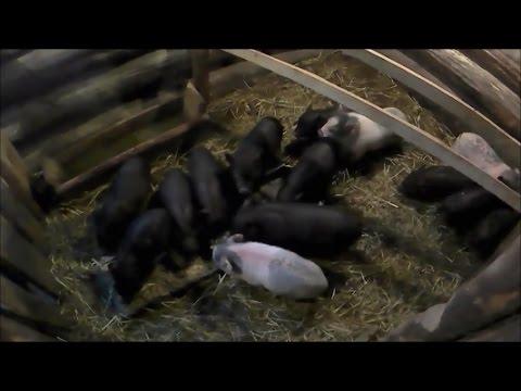 Отъем подсосных поросят от свиноматки // Моё подворье