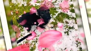 German Shepherd Dog Angry & Attacking my Snow Shovel - Must Watch Hilarious!