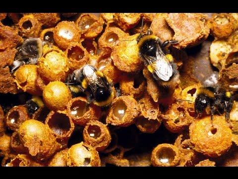 Look inside a bumblebee nest