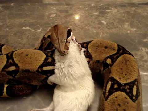 Sub Adult Red Tail Boa Constrictors Eating! (Bones & Booth) Video