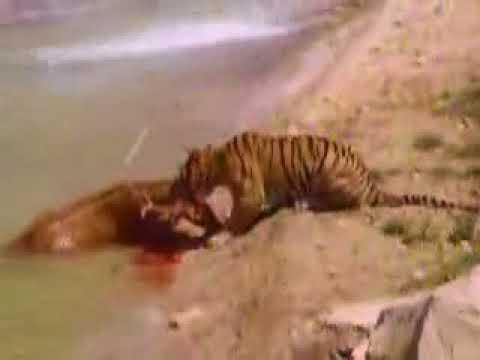 Tigres se comen a ciervo en Terra Natura
