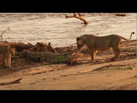 Maneless Lion vs. Crocodile