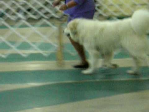 Nashville Dog Show October 19, 2008 Great Pyrenees