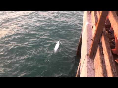 Tarpon Catch Naples Pier
