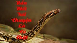 Rắn biết nói chuyện là có thật |chuyện lạ rắn biết gáy như gà
