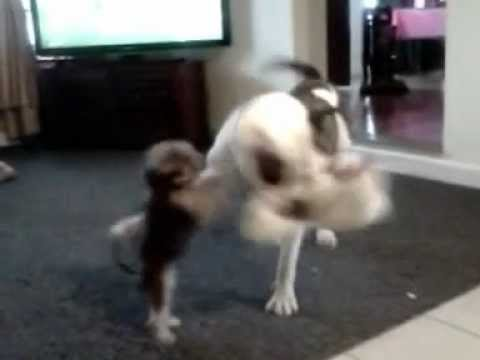 Chopper & Treasure - Little Bitty Dog Plays With Great Big Dog.3gp video