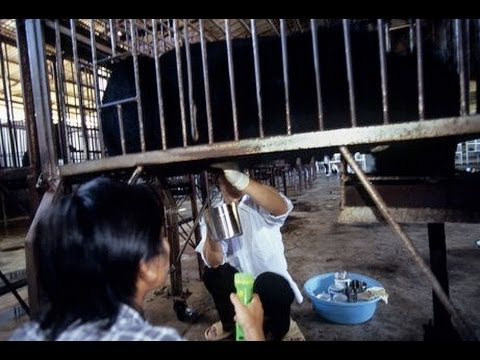 GRAPHIC Chinese Bear Bile Farming Video