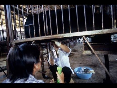 GRAPHIC Chinese Bear Bile Farming Video