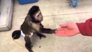 Смешные обезьяны! капуцин ПОКУПАЕТ газировку РЖАЧ