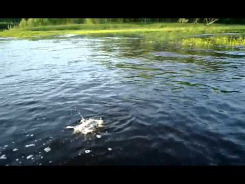 ловля рыбы на поверхностные приманки видео
