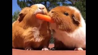 Carrot Wars