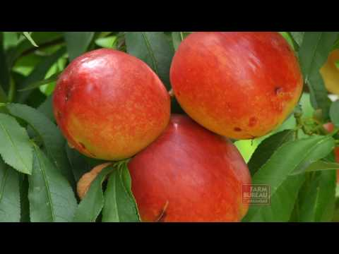 Arkansas Farm Bureau - New Peach Varieties