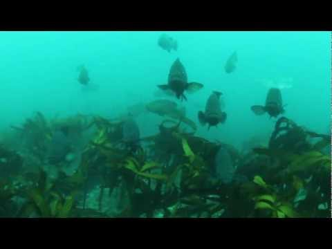 Sea sniper baja spearfishing
