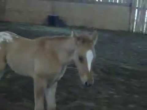 Quinn - 2009 ApHC Foal by Chocolatey
