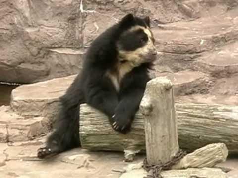 天王寺動物園のメガネグマ Spectacled Bear in Japan